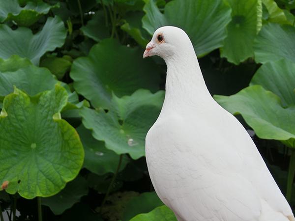 鶴岡八幡宮の白鳩ちゃん