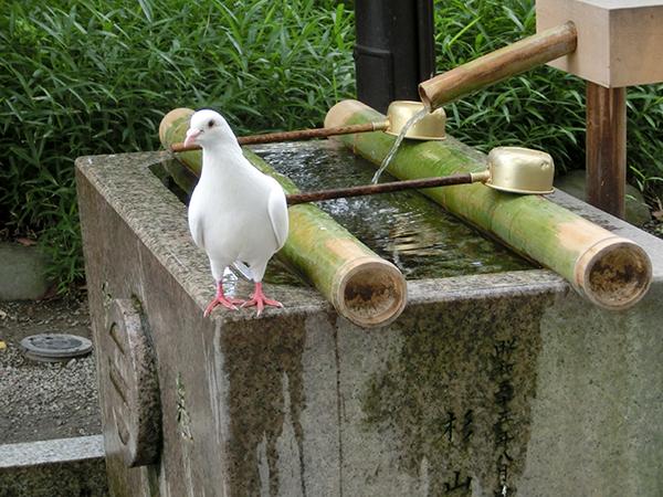 鶴岡八幡宮の白鳩ちゃんと手水舎