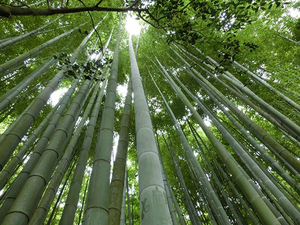 報国寺の竹林1
