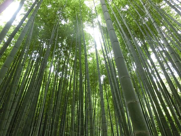 報国寺の竹林3